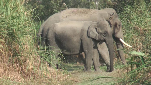 This photo illustrates the sexual dimorphism in the tusks. Photo by Makhna Karpagam Chelliah.