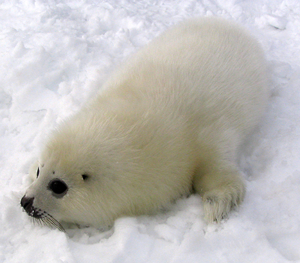 A harp seal pup. Photo by Matthieu Godbout (Creative Commons Attribution-Share Alike 3.0 Unported).