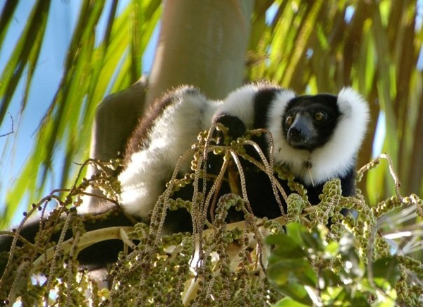 Female black-and-white ruffed lemur feeding.  Photo by Andrea Baden.
