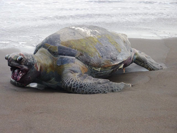 Among the stranded sea turtles were leatherbacks and Pacific green turtles, two species that are critically endangered.  This green turtle documented by Akazul volunteers in La Barrona had its lower jaw removed, possibly to recover a hook.