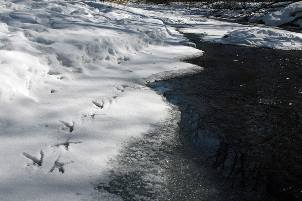 Tracks in the snow in Primorye, Russia, reveal that a Blakiston's fish owl hunted here the night before. Photograph © Jonathan Slaght, WCS Russia