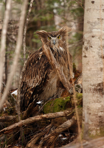A Blakiston's fish owl in Primorye, Russia. Photograph © Jonathan Slaght, WCS Russia