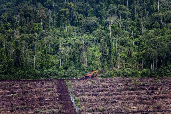 Uma escavadora na orla da floresta tropical, numa turfeira recentemente abatida dentro da concessão para exploração de óleo de palma detida pela empresa PT. Bertuah Aneka Yasa, do grupo Duta Palma, na zona de Indragiri Hulu, Riau.  Tirada 04/05/2013 © Kemal Jufri / Greenpeace