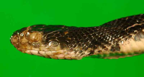 Eastern rat snake (Pantherophis alleghaniensis) showing signs of fungal infection. Obvious external abnormalities are an opaque infected eye (spectacle) and roughened, crusty scales on the snout. Snake captured in New Jersey in March 2012 (case 23906). Photograph by D.E. Green, USGS National Wildlife Health Center.