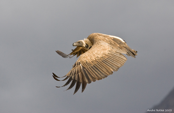 White-backed vulture (Gyps africanus).  Photo by Andre Botha.