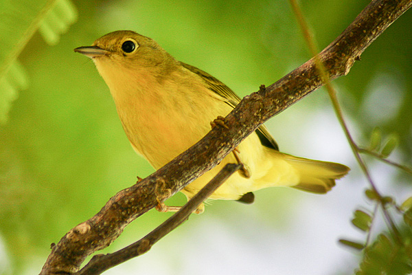 The yellow warbler (Setophaga petechia) is a pest-eating bird that frequents coffee plantations.