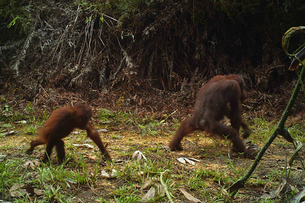 A juvenile follows its parent as they walk through the forest.  Camera trap photo courtesy of Brent Loken.