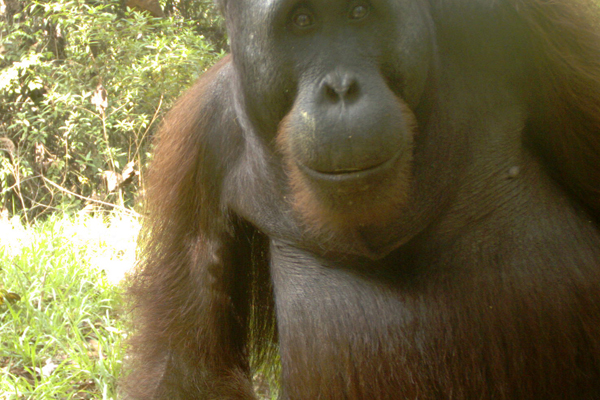 An adult orangutan closely inspects the camera trap from the ground.  Photo courtesy of Brent Loken.