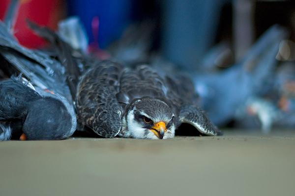 A hunted Amur falcon waiting to die. Photo by Ramki Sreenivasan.