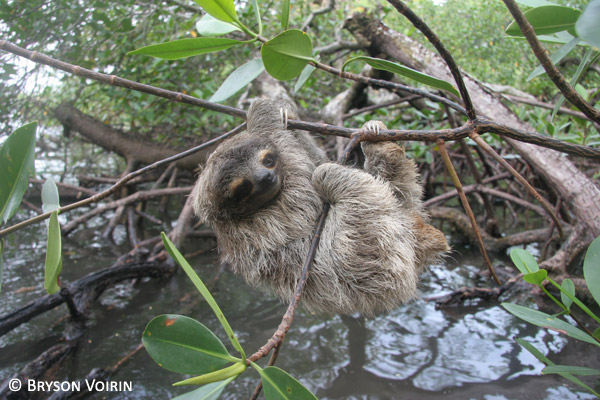 The Critically Endangered pygmy sloth. Photo by: Bryson Voirin.