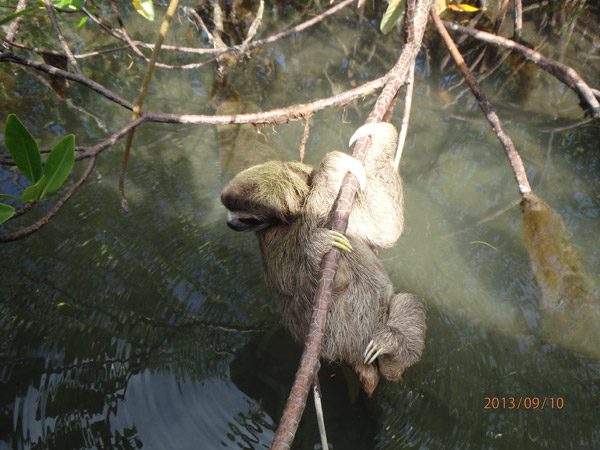 >Pygmy sloth release back on Isla Escudo de Veraguas. Photo credit: Shannon Thomas.&#8221;><br /> <i><span itemprop=