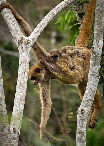 Mãe e filhote de muriqui -do-norte (Brachyteles hypoxanthus) em Caratinga, Brasil. Foto: Bart van Dorp, sob licença Creative Commons Attribution 2.0 Generic.