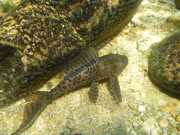 A plecos swimming underwater in the Chacamax River. Photo by Krista Capps.