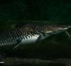 Giant shovelnose catfish