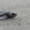 Baby sea turtle on a Costa Rican beach