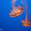 Purple-striped jellyfish