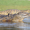 Madagascar variant of the Nile Crocodile near Ankarafantsika (Oct 2012). Photo by Rhett A. Butler