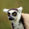 Ringtailed lemur in Madagascar (Oct 2012). Photo by Rhett A. Butler