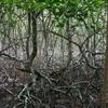 Mangroves in Panama