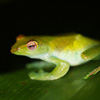 Rhacophorus dulitensi tree frog in Danum Valley, Sabah, Malaysia (Nov 2012). Photo by Rhett A. Butler