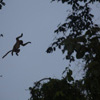 Leaping proboscis monkey along the Kinabatangan River in Sabah, Malaysia (Nov 2012). Photo by Rhett A. Butler