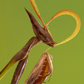 A portrait of a slender praying mantis (Idolomorpha dentifrons) from the Cheringoma Plateau. Photo © 2013 Piotr Naskrecki