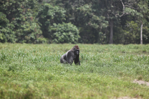 A lowland gorilla in the Central African Republic. Photo by Jon Hall.