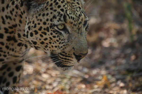 One of the more elusive mammals, a leopard walks along in South Africa. Photo by Rhett A. Butler / mongabay.com.