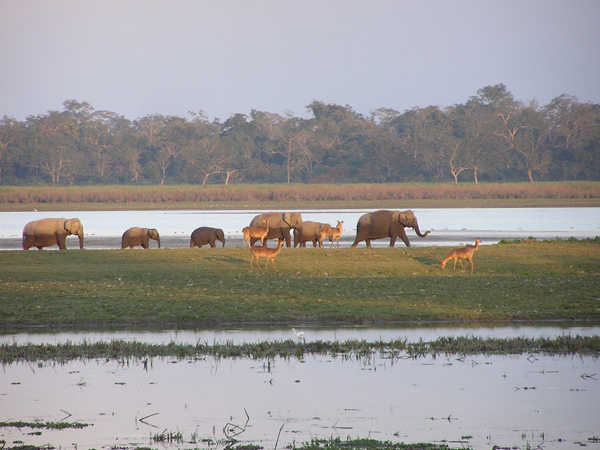 Elephants and swamp deer browse in Kaziranga. You can see the short grass near the river, with taller grass at the fringe of the forest patch. Photo by Karpagam Chelliah.