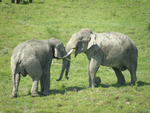 Two tusked males fighting. Photo by Karpagam Chelliah.