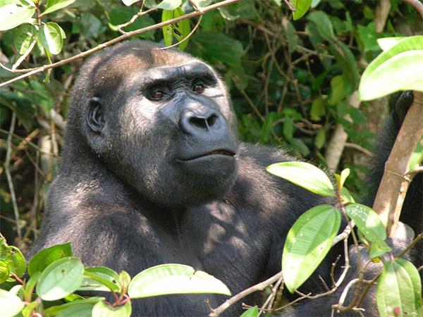 Gorille mâle relâché des régions de l'ouest. Photo de Tony King.