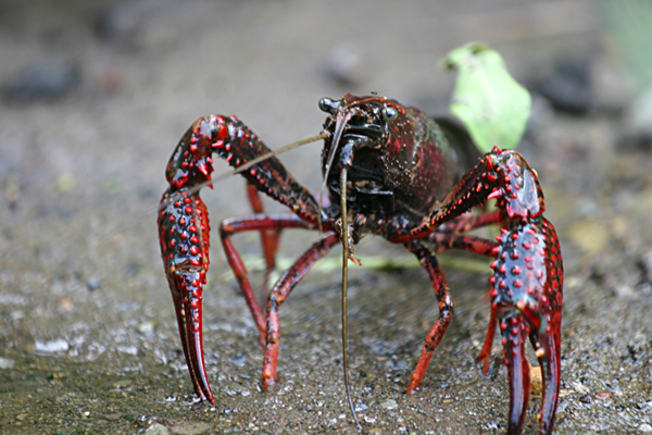 Procambarus clarkiii, a member of a genus of crayfish identified as the first non-amphibian hosts for Batrachochytrium dendrobatidis infection. Photo by: Mike Murphy, Wikimedia Commons