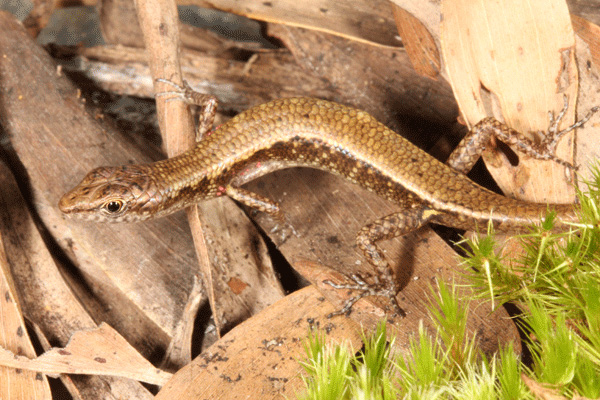 Cape Melville Shade Skink.