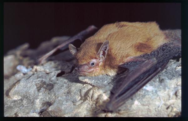 Nycticeinops schlieffenii – Chauve-souris du crépuscule. Photo par Brock Fenton.