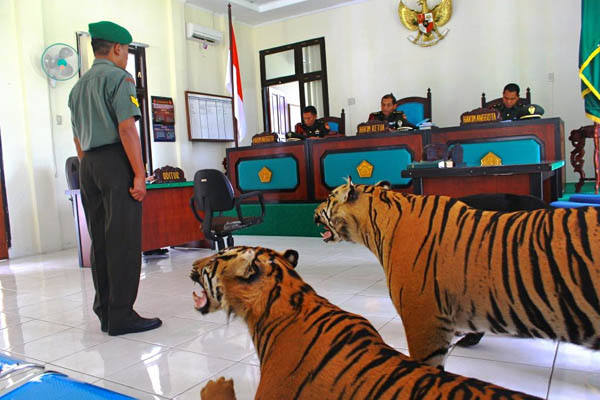 Trial of two accused soldiers in Aceh Military Court, which found to have offset the tiger and bears.