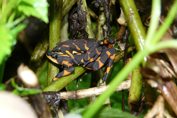 Thought-to-be-extinct 'halloween' frog rediscovered in Costa Rica