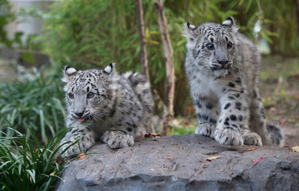 Twin snow leopard cubs.