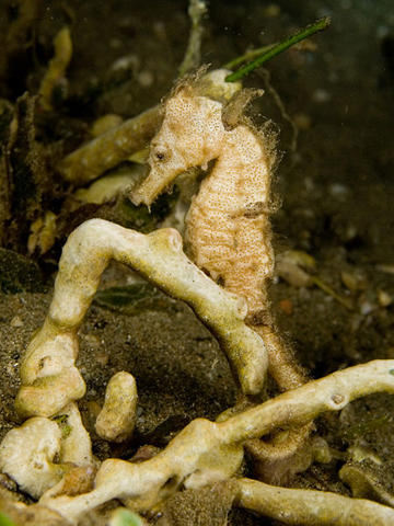 Small white seahorse (Hippocampus kuda) hiding in sponges. Photo by Nick Hobgood / Creative Commons Attribution-Share Alike 3.0 Unported license.