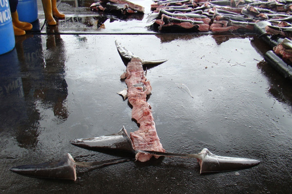 Shark finning technique where only a band of skin to keep the fin attached to the spine is retained and the remainder of the body discarded at sea. This method is aimed at circumventing legislation banning finning which states that the fins of the shark must be 'naturally attached' to the body.