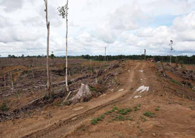 Deforestation for palm oil production.