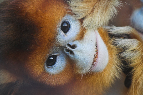 Kids' stories and new stoves protect the golden snub-nosed monkey in China