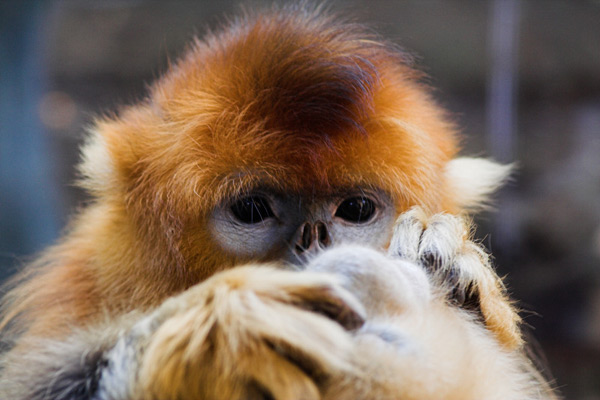 Golden snub-nosed monkey.