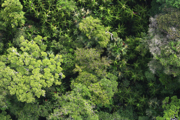 Rainforest canopy in French Guiana with hyperdominant trees. Photo by Daniel Sabatier.