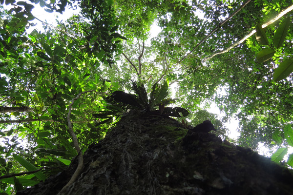 A Brazil nut tree in central Amazonia. Brazil nuts have long been an important food source for indigenous people. Photo by Hans ter Steege.