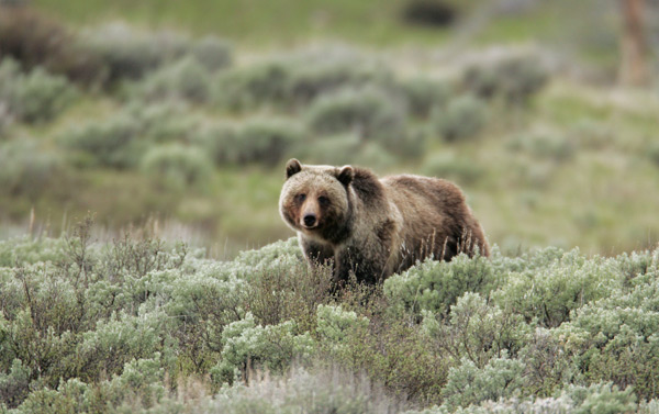 A grizzly gazes directly at the photographer while walking through shrubs in Yellowstone National Park. Photo credit: Yellowstone National Park.