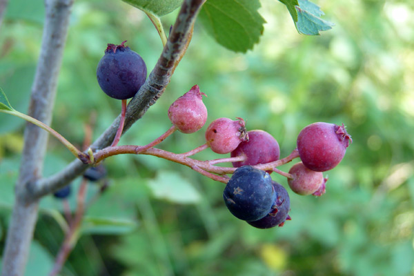 Grizzly bears aren't the only ones who like serviceberries. Native Americans ate the berries raw and used branches from the shrubs to make arrows. Photo credit: William Ripple