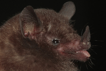 Peracchi's nectar bat (Lonchophylla peracchii). Photo credit: Ricardo Moratelli.