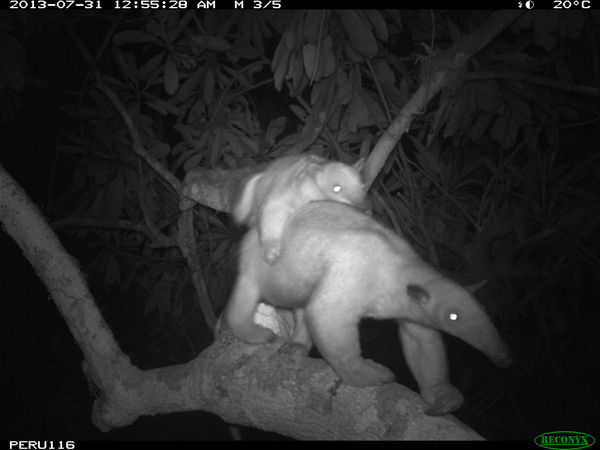 Tamandua (Tamandua tetradactyla) with baby. Photo courtesy of the Smithsonian Conservation Biology Institute.