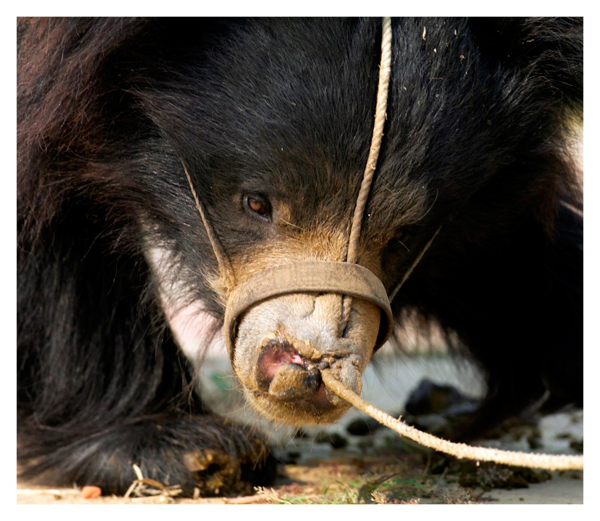 Dancing bear, with rope through muzzle. Photo courtesy of WildlifeSOS-India.