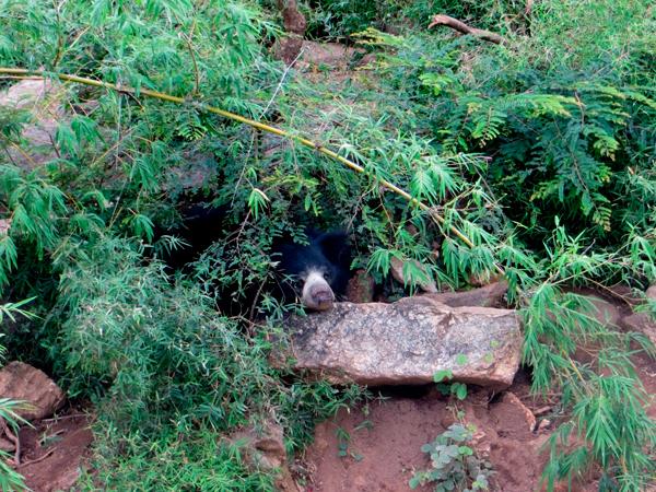 Kashi, a rescued bear, resting, at BBRC. Photo courtesy of Shreya Dasgupta.